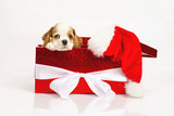 bd3a979cc8e Rozkošný bílý a červený americký kokršpaněl štěně představují ve velké  červené dárkové krabici na bílém pozadí