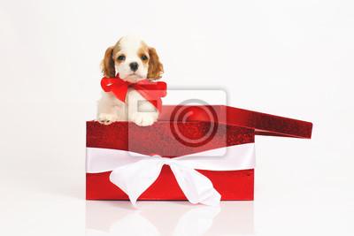 4f7ac53a6b0 Fototapeta Rozkošný bílý a červený americký kokršpaněl štěně představují ve  velké červené dárkové krabici na bílém