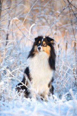 Fototapeta rozkošný šeltie pes zimní portrét