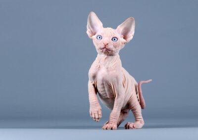 Fototapeta Roztomilé kotě sphynx