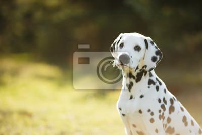 Roztomilé štěně dalmatské na procházku v parku portrét fototapeta ... 8cf7c041f4