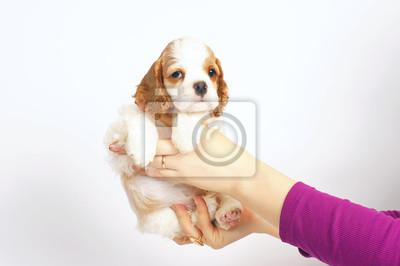 fe7c02e9369 Fototapeta Roztomilý bílý a červený americký kokršpaněl štěně představující  uvnitř v rukou ženy na bílém pozadí