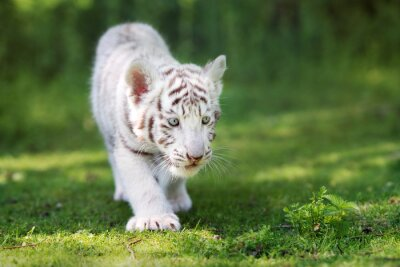 Fototapeta roztomilý bílý tygr mládě chůzi na trávě