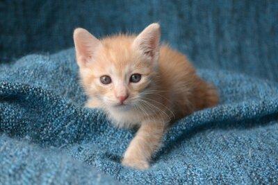 Fototapeta Roztomilý koťátko na modré dece pozadí