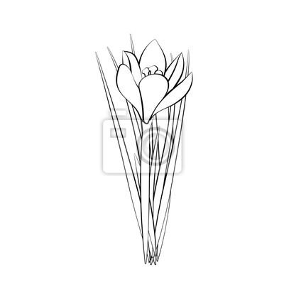 Rucne Kreslene Kvetiny Elegantni Vinobrani Bily Krokus S Cernou