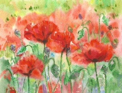 Fototapeta Rudého máku květiny na pozadí, akvarel.
