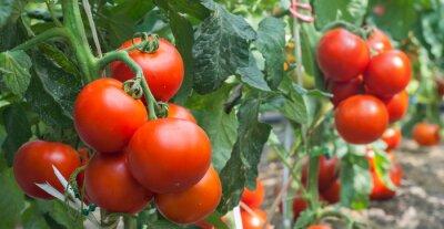 Fototapeta Růst rajče