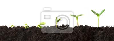 Fototapeta Růst Sequence - Posloupnost sazenice pěstování postupně vyšší, izolované proti bílému pozadí.