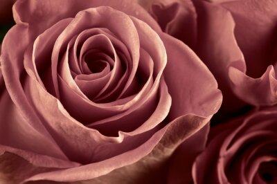 Fototapeta Růže květiny close-up