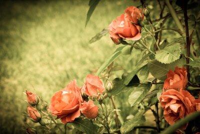 Fototapeta Růže v zahradě. Staré stylizovaný obraz.