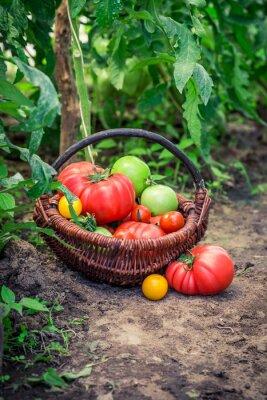 Fototapeta Různé rajčata na zem