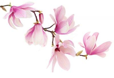 Fototapeta Růžová jarní magnólie květiny větev