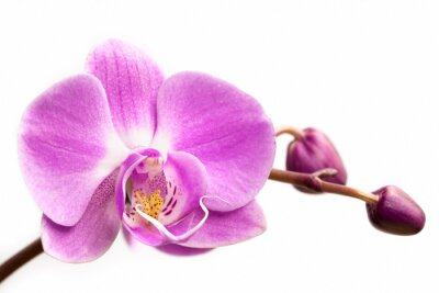 Fototapeta Růžová orchidej květina na bílém pozadí. Orchidej květina izolované.