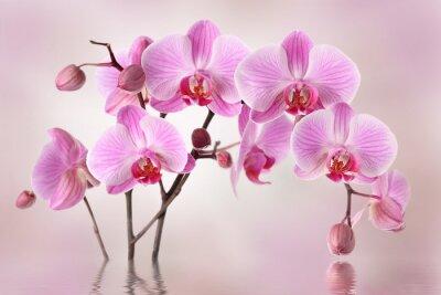 Fototapeta Růžové orchideje květina pozadí design