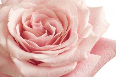 Fototapeta růžové růže detailní