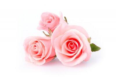 Fototapeta růžové růže květ na bílém pozadí