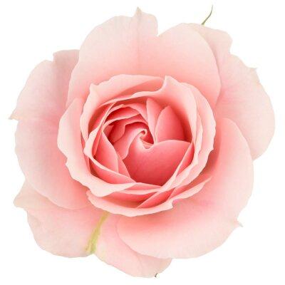 Fototapeta Růžové růže zblízka, izolovaných na bílém