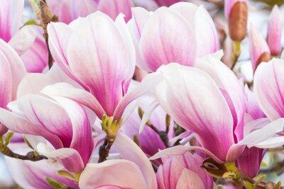 Fototapeta růžový květ magnolie