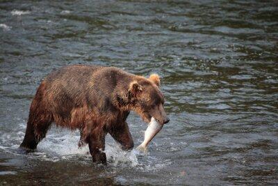 Fototapeta rybaření medvěd
