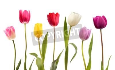 Fototapeta Sada sedmi různých barevných tulipánů, izolovaných na bílém pozadí