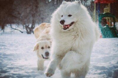 Fototapeta Samojed běží v zimě parku