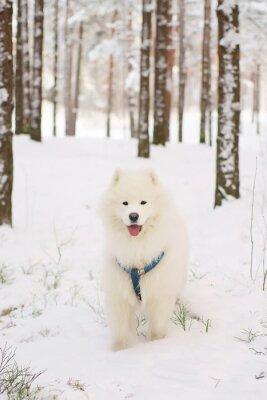 Fototapeta Samoyed pes pobyt v zasněženém lese