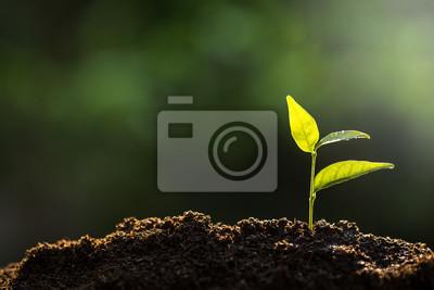 Fototapeta Sazenice rostou z bohaté půdy na ranní slunce