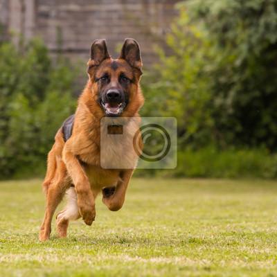Fototapeta Schaeferhund laeuft