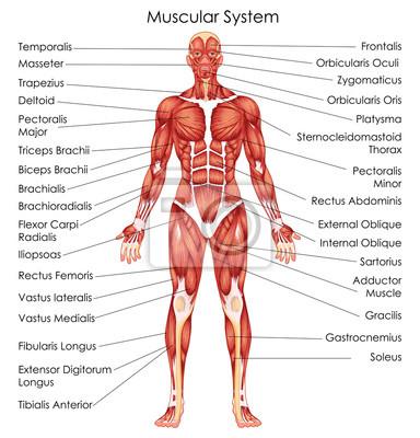 Fototapeta Schéma biologie lékařského vzdělávání pro diagram svalové soustavy