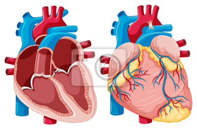 Fototapeta Schéma znázorňující lidské srdce