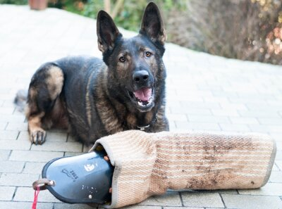 Fototapeta Schutzhund