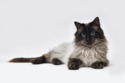 Fototapeta Seal point Ragdoll kočka