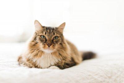 Fototapeta Šedá kočka ležící na posteli