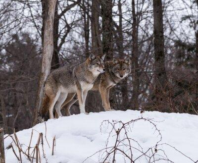 Fototapeta Šedé nebo Gray vlci
