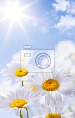 sedmikrásky Květinové léto pozadí