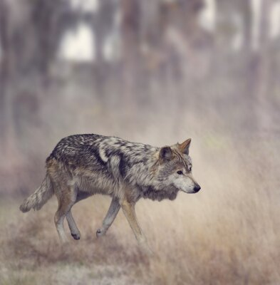 Fototapeta Šedý vlk (Canis lupus)