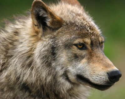 Fototapeta Šedý vlk hlavou střílel.