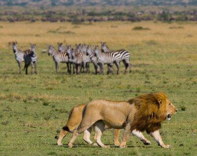 Fototapeta Setkání lva a lvice v savaně. Národní park. Keňa. Tanzanie. Masai Mara. Serengeti. Vynikající ukázkou.