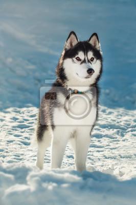 Fototapeta Sibiřský husky s hnědýma očima ve sněhu