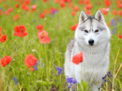 Fototapeta Sibiřský husky - Vlčí máky květiny