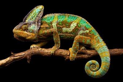 Fototapeta Side na obrázkem Jemenu chameleon izolovaných na černém pozadí