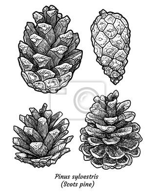 Skotska Borovice Ilustrace Kresba Rytina Inkoust Line Art