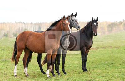 Skupina tří koní na pastvině na podzim fototapeta • fototapety padok ... be907e40d7