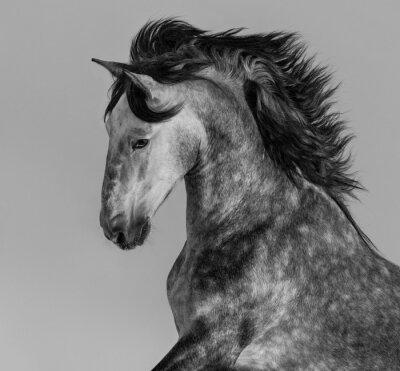 Fototapeta Skvrna šedý andaluský hřebec - portrét v pohybu