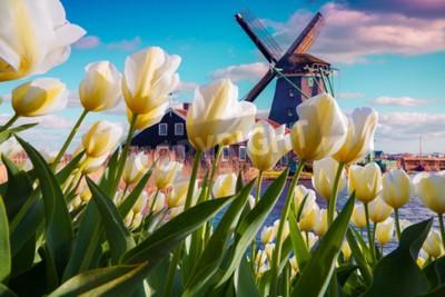 Fototapeta Slavné holandské větrné mlýny mezi kvetoucími bílými tulipány. Slunečná venkovní scéna v Nizozemsku. Krása venkovské koncepce pozadí. Kreativní koláž.