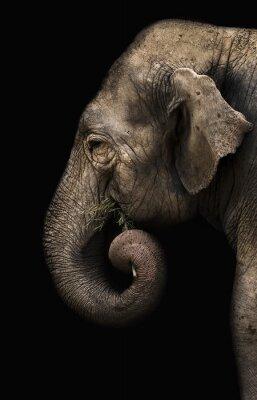 Fototapeta slon