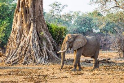 Fototapeta Slon africký (Loxodonta), procházel kolem velkého stromu