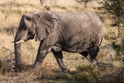 Fototapeta Slon africký Při procházce Národním parku Etosha, Namibie