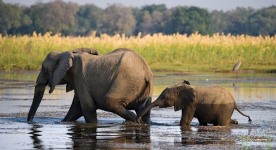 Fototapeta Slon s dítětem přes řeku Zambezi.Zambia. Snižte Národní park Zambezi. Zambezi. Vynikající ukázkou.