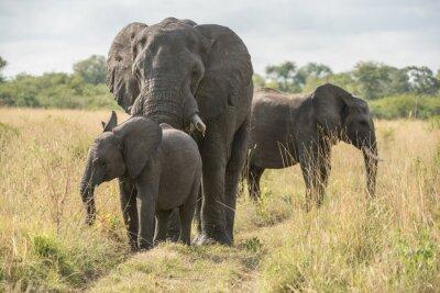 Fototapeta Slon s mládětem